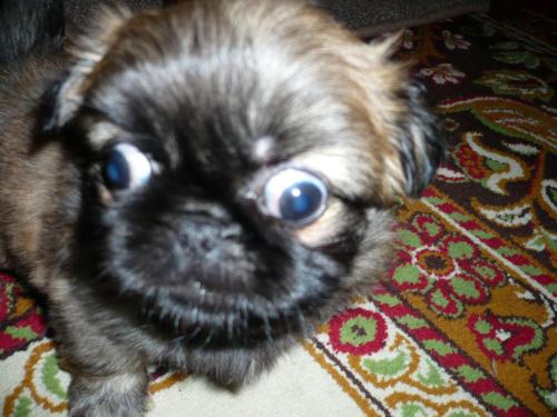 rozbieżna uwaga:D #pieski #szczeniaki #pekińczyk #zez #oczy