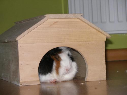 świńskie lokum #zwierzęta #gryzonie #ŚwinkiMorskie #klatka