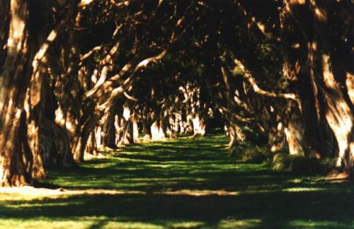 Korytarz eukaliptusów, Sydney park