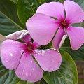 Fioletowe kwiatuszki rosną nawet niedaleko pustyń...o ile ktoś je podleje. ;) #kwiaty #piękne #makro #kwiat