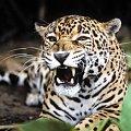#jaguar #kot #DzikiKot