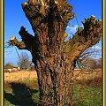 stare wierzby #wierzby #drzewa #przyroda