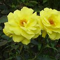 roses,nature #roses #nature