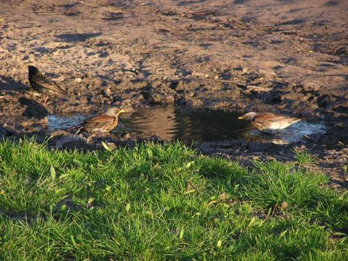 Wrobelki #ptaki #wróble #ptak #wróbel #wróbelki #woda