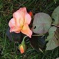 Roślinka #kwiaty #kwiatki #pomidor #orzech #róża #porzeczka #czereśnia