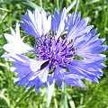 Chaber bławatek #kwiat #chaber