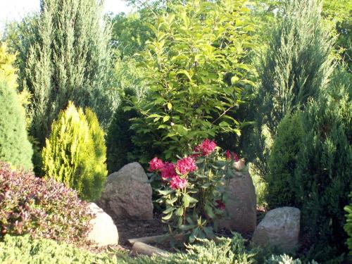 w głębi widac kwitnący rhododendron ,co prawda niewielki ,,,,ale ,,,