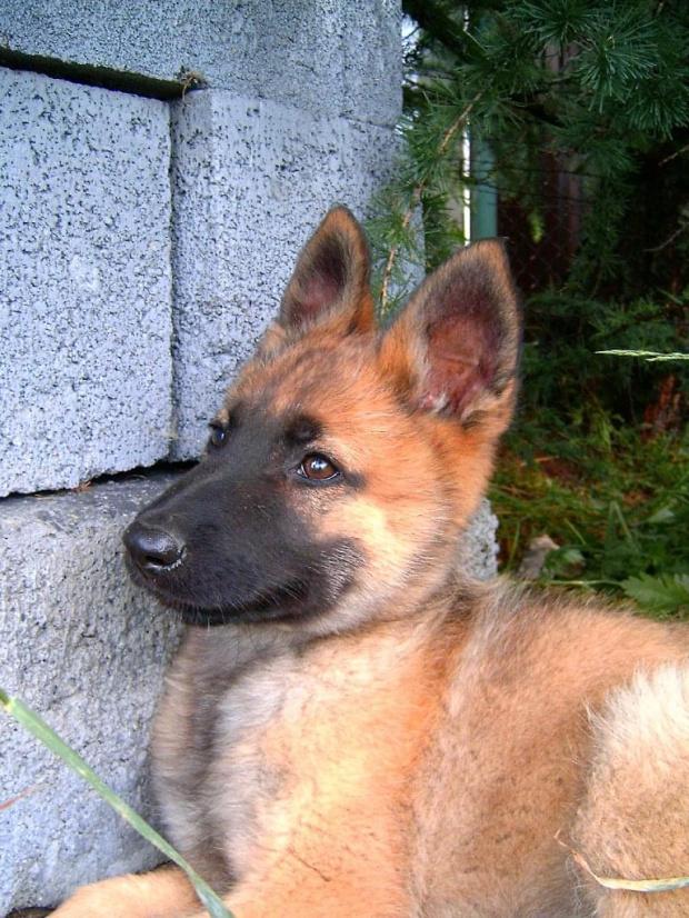 Mój nowy piesek rasowy jest to Owczarek Niemiecki #pies #piesek #szczeniak #rodowód #rasa #rasowy #OwczarekNiemiecki #mlody #dog #suczka