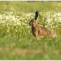 Zając #zając #zwierzęta #przyroda