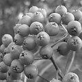 Jarzębina (wersja czarno-biała) #jarzębina #drzewa #ogród #rośliny #natura #przyroda
