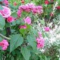 róża z wierzbą #kwiatki #róże #wierzba