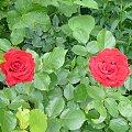 siostry #róze #kwiatki