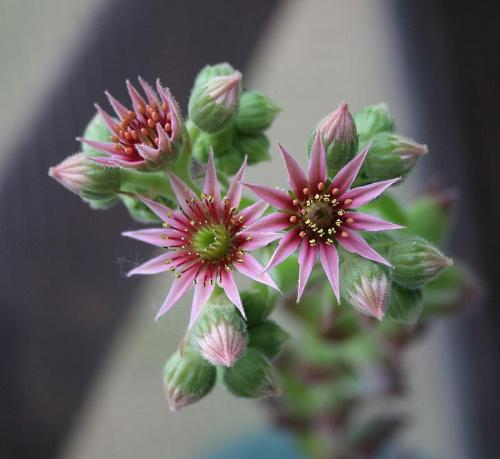 """moje balkonowe kwiatki dla niedowiarka """" salsy7"""" ... #kwiaty"""