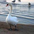 #łabędzie #mewy #morze #ptaki