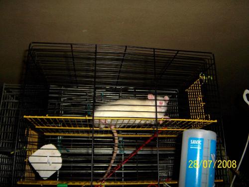 Szczurzynka o imieniu Orzeszek