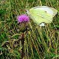 #oset #motyle #natura #łąka #owady