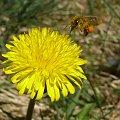 Lądowanie pszczoły. #lot #mlecz #nektar #owad #pszczoła #pyłek