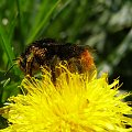 Pszczoła zbierająca nektar. #Pszczoła #owad #nektar #pyłek #pył #mlecz #kwiat