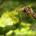 #owad #pszczoła #mucha #liść #makro #las #łąka #drzewo #brzoza #skrzydła #oczy #nogi #gałęzie #natura #zieleń #wiosna #lato