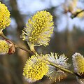 W oczekiwaniu na wiosnę... #krzewy #drzewa #wierzba #kwiatostany #kwiaty #wiosna #natura #przyroda #przedwiośnie
