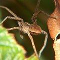 Pająk #makro #pająk #pająki #natura #owady #przyroda #zwierzęta #drapieżnik #myśliwy #makrofotografia