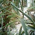 kaktus #kaktus #sukulent #rośliny