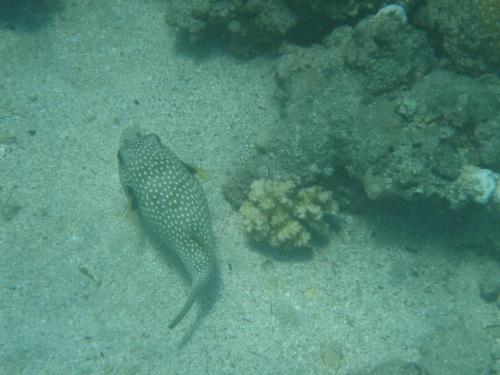 Nadmuchana rybka