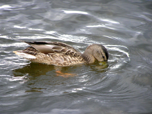 łabedzie, kaczki, ptaki, zwierzaki,zwierzęta, ptactwo wodne, woda, przyroda, kaczka #łabedzie #kaczki #ptaki #zwierzaki #zwierzęta #PtactwoWodne #woda #przyroda #kaczka