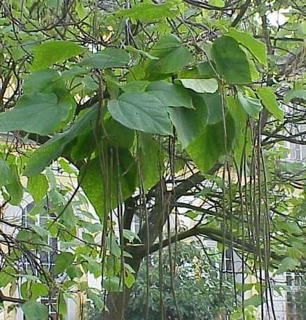 Drzewo które odstrasza komary