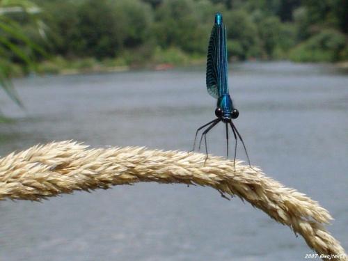 ...czy te oczy mogą kłamać :o)) ... #lato #rzeka #San #ważka