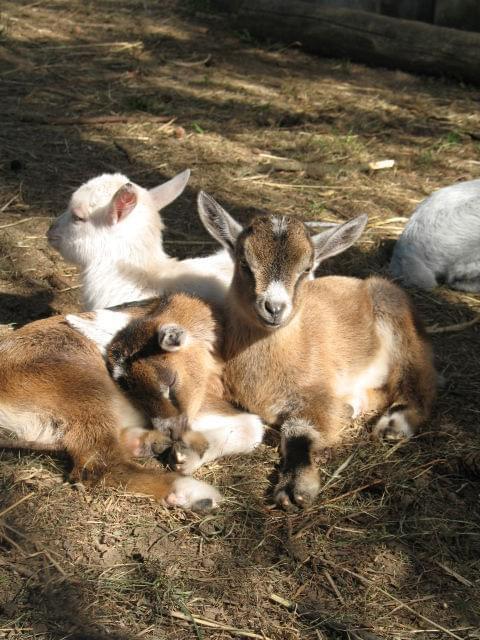 koza #koza #kozy