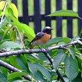 Pleszka samiec #ptaki #ptak #samiec #pleszka